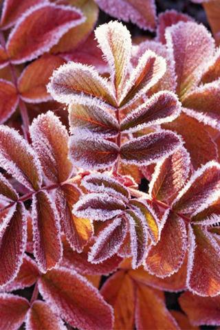 Frozen Leaf iPhone Wallpaper