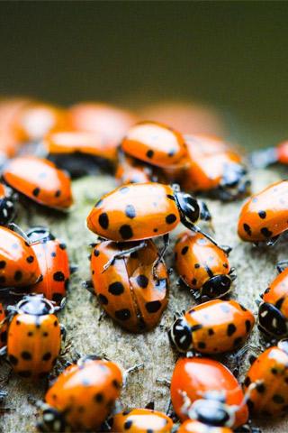 Ladybugs iPhone Wallpaper