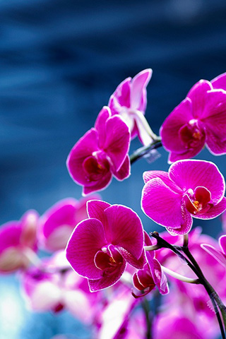 orchid wallpaper. Purple Orchids