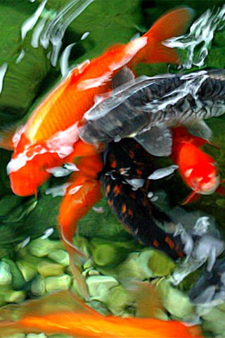 Koi Pond Iphone Wallpaper Idesign Iphone