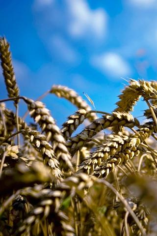 Wheat iPhone Wallpaper