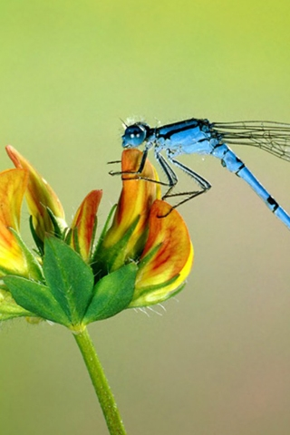 Blue Dragonfly iPhone Wallpaper
