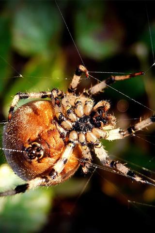 Spider iPhone Wallpaper