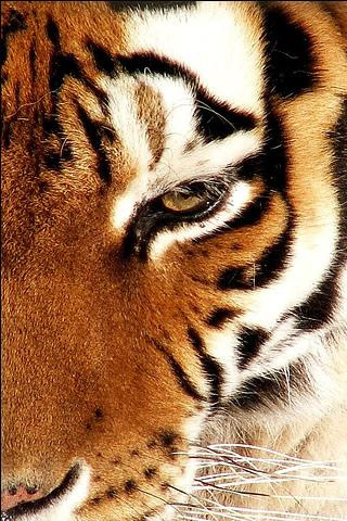 Siberian Tiger IPhone Wallpaper