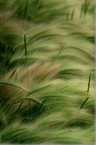 Wheat Field iPhone Wallpaper