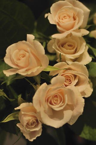 White Roses iPhone Wallpaper