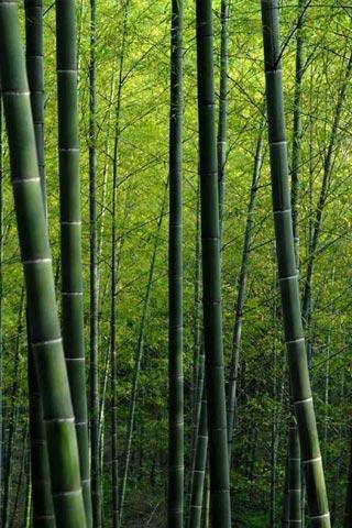 Bamboo iPhone Wallpaper