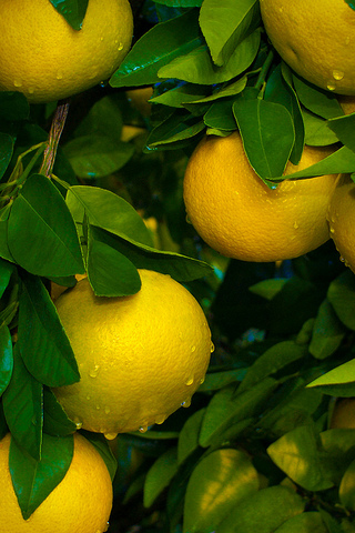 Lemon Tree iPhone Wallpaper