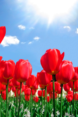 Field of Tulips iPhone Wallpaper