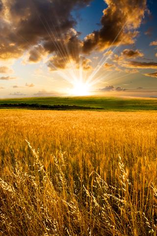 Wheat Field iPhone Wallpaper