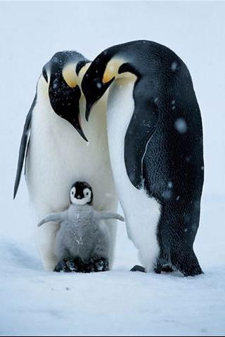 King Penguin iPhone Wallpaper