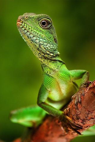 Lizard iPhone Wallpaper