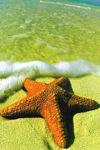 Starfish iPhone Wallpaper
