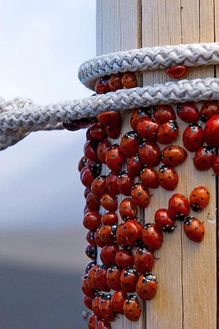 Ladybug Swarm iPhone Wallpaper