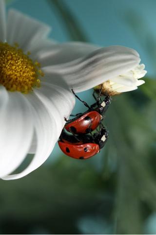 Ladybug Love iPhone Wallpaper
