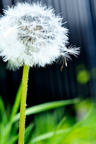 Dandelion Offspring iPhone Wallpaper