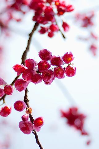 Apple Tree Flowers iPhone Wallpaper