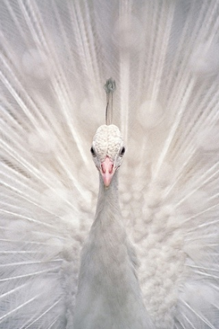 White Peacock iPhone Wallpaper