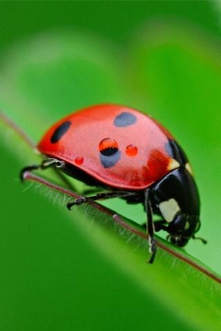 Ladybug iPhone Wallpaper