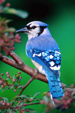 Blue Jay Bird iPhone Wallpaper