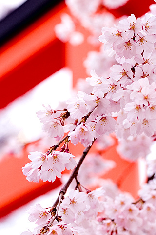 Cherry Blossoms iPhone Wallpaper