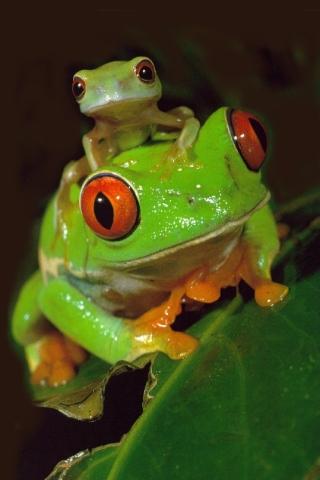 Red Eye Tree Frogs iPhone Wallpaper