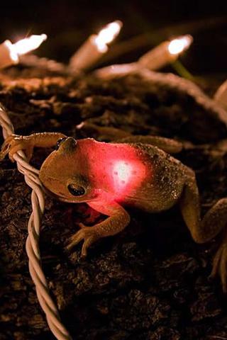 Christmas Light Frog iPhone Wallpaper