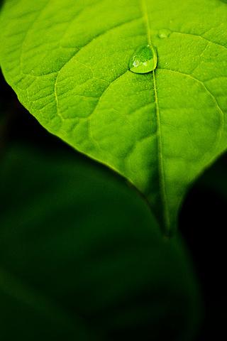 Leaf Closeup iPhone Wallpaper