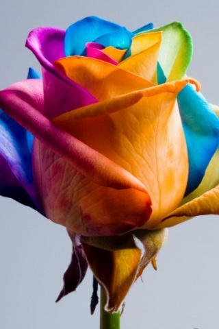 Rainbow Coloured Rose iPhone Wallpaper