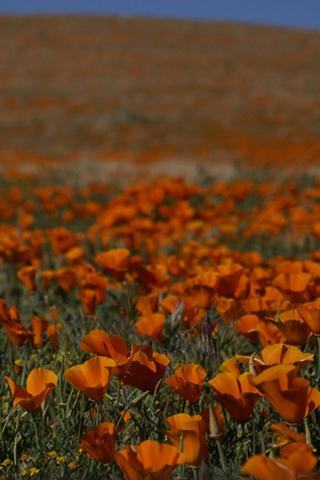 Orange Field iPhone Wallpaper