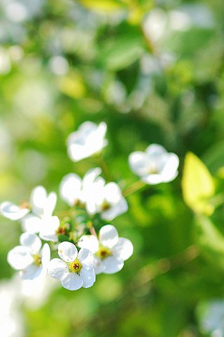 Apple Tree Bloom iPhone Wallpaper