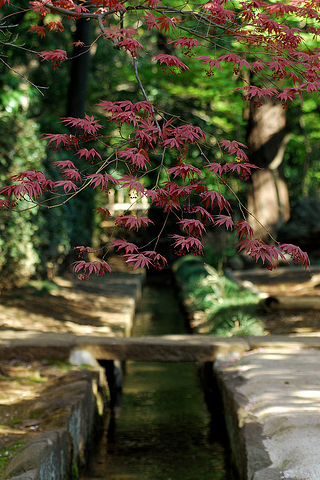 Japanese Maple Tree Branch iPhone Wallpaper