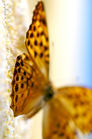 Leopard Butterfly iPhone Wallpaper