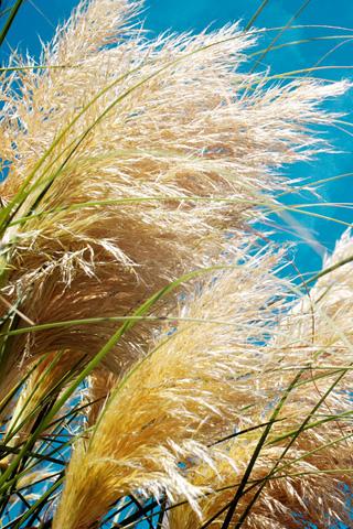Wild Grass iPhone Wallpaper