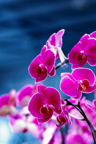 Purple Orchids iPhone Wallpaper