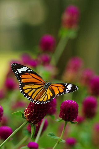 Monarch Butterfly iPhone Wallpaper
