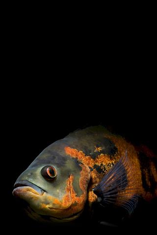 Oscar Fish iPhone Wallpaper