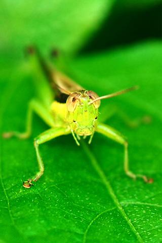 Green Grasshopper iPhone Wallpaper