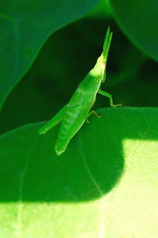 Horned Grasshopper iPhone Wallpaper