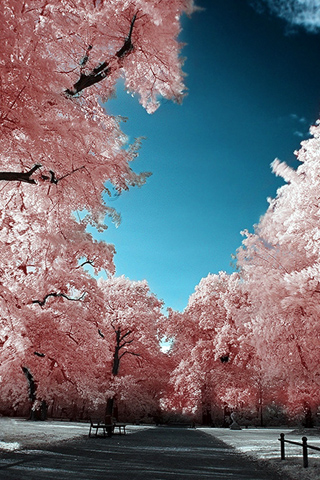Cherry Blossoms Park iPhone Wallpaper