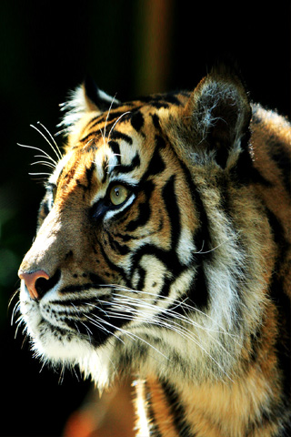 Sumatran Tiger iPhone Wallpaper