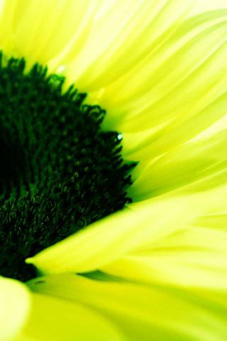 Sunflower Pad iPhone Wallpaper