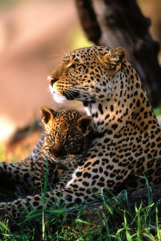 African Leopard Family iPhone Wallpaper
