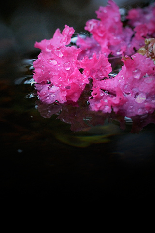 Wet Pink Flowers iPhone Wallpaper