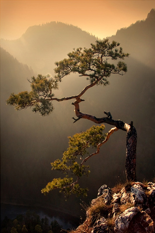 Rugged Tree iPhone Wallpaper
