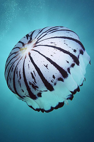 Zebra Striped Jellyfish iPhone Wallpaper