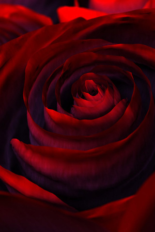 red roses wallpaper. Red Rose iPhone Wallpaper