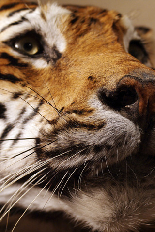 Siberian Tiger iPhone Wallpaper