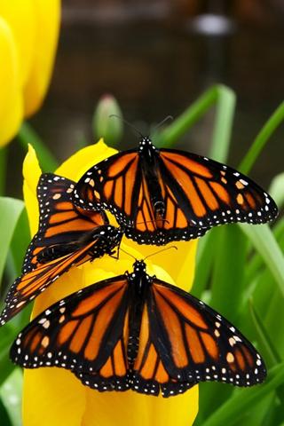 Monarch Butterflies iPhone Wallpaper
