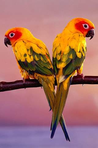 Sun Conure Parrots iPhone Wallpaper